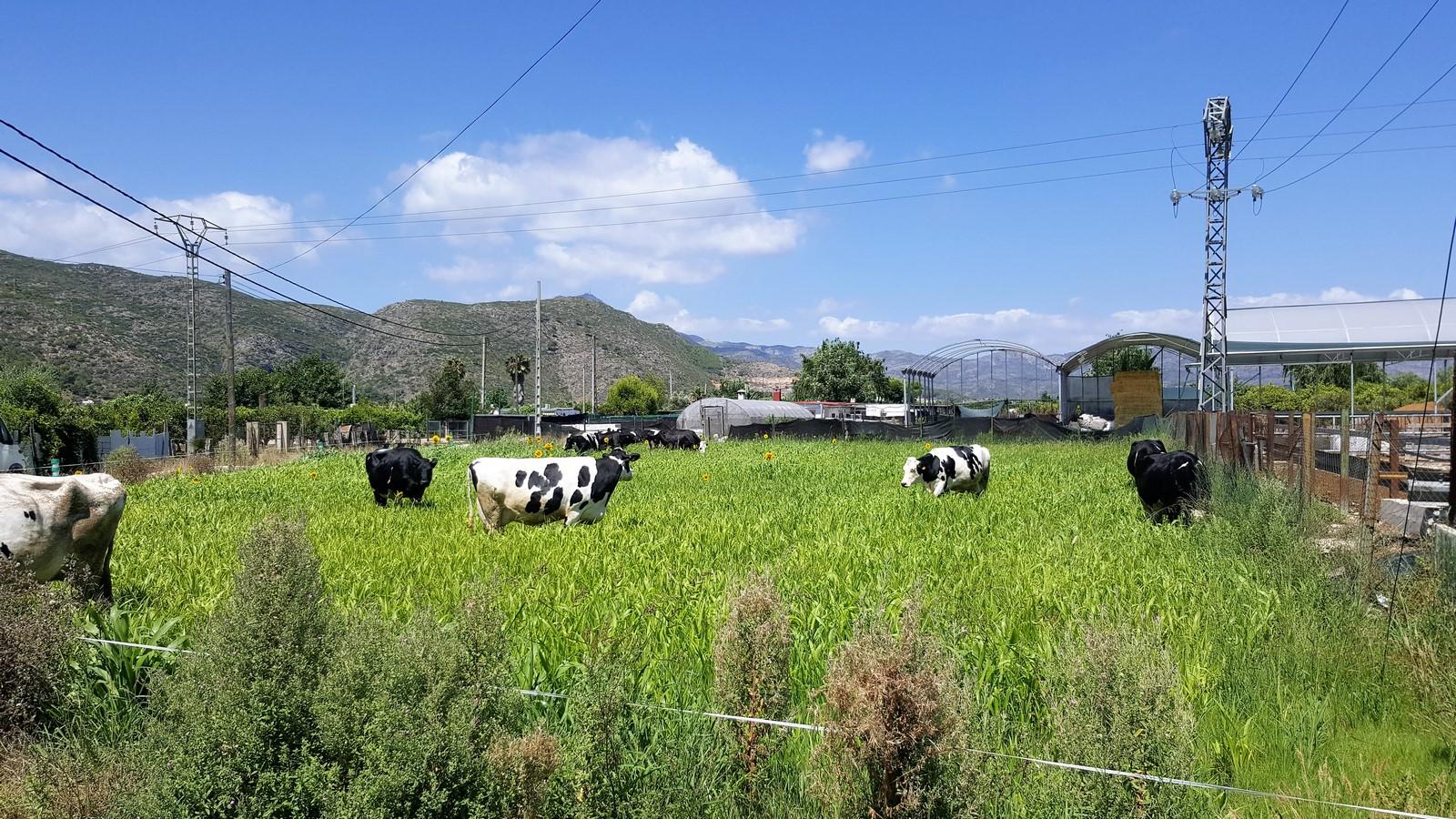 Las vacas en gestación salen todos los días a pastar