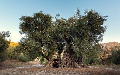 Experiencia olivos milenarios y cata de aceite ecológico Castell de la Costurera y visita a la Bodega Gurgu